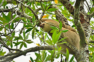 Hoffmann's two-toed sloth (Choloepus hoffmanni) hangs from the branches of a mangrove tree in Golfo Dulce, Puntarenas, Costa Rica.