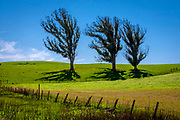 Fine Art: March 2015, Point Reyes Station: Three trees in a row in a diagonal with grass and fenced area. Rolling Hills are abundant close to Point Reyes on the California Coast. RAW to Jpg.
