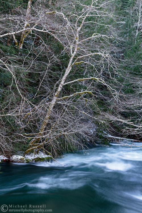 Deciduous trees covered in light snow over the high water of the Chilliwack River in Chilliwack Lake Provincial Park, Chilliwack, British Columbia, Canada