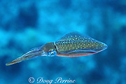 Caribbean reef squid or Atlantic oval squid, Sepioteuthis sepioidea, Little Cayman, Cayman Islands, British West Indies ( Western Caribbean Sea )