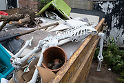 Plastic human skeleton left outside in a skip on 6th June 2020 in Birmingham, United Kingdom. During the Coronavirus pandemic this was a particularly ironic piece of house clearance waste.