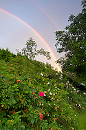 A double rainbow over a rose garden in advance of a summer rainstorm