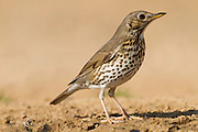 Song Thrush (Turdus philomelos) near a puddle of water in the desert, This bird inhabits woodland, hedgerows and enclosed gardens, and feeds on insects, worms, snails and fruits. It is a timid creature and usually feeds under cover, being camouflaged by its speckled plumage. It gets its name from its flute-like repetitive calls. Photographed in Negev, israel in January