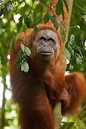 A Sumatran orangutan leans toward camera and looks slightly above frame, with interest.
