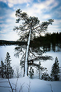 Snow on tree, Lapland, Finland