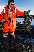 Alaska. Exxon Valdez Oil spill cleanup includes oiled bird carcass removal in the Prince William Sound.
