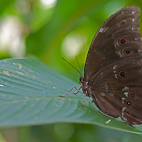 A butterfly perches on a leaf in the Amazon rainforest near Iquitos, Peru.
