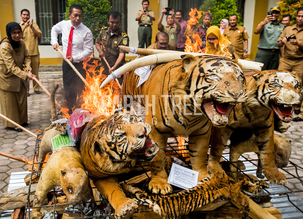 Stuffed tigers burning after several busts of wildlife crime syndicates that had been operating in and around the Leuser Ecosystem, the last place on earth where tigers, rhinos, elephants, and orangutans still coexist under the same canopy. The syndicates have trade routes, spanning the globe and as illegal palm oil expansion moves into the last remaining blocks of forest allowing poachers easy access to some of the last iconic species. Photo: Paul Hilton for Earth Tree