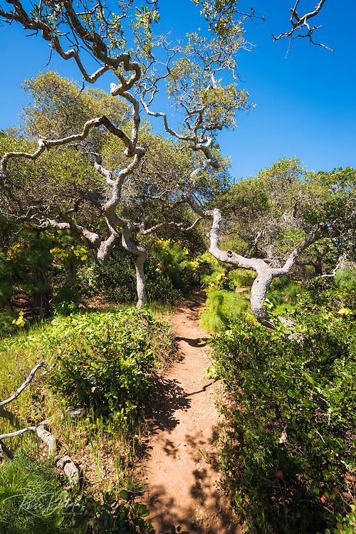 Forest on the Pelican Bay trail, Santa Cruz Island, Channel Islands National Park, California USA