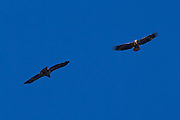 Two juvenile bald eagles (Haliaeetus leucocephalus) soar over the Squamish River in Brackendale, British Columbia, Canada.