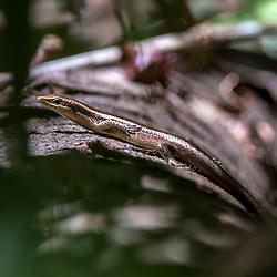 """""""Lagartinho-de-vidro (Psychosaura macrorhyncha) fotografado em Linhares, Espírito Santo -  Sudeste do Brasil. Bioma Mata Atlântica. Registro feito em 2015.<br /> <br /> <br /> <br /> ENGLISH: Hoge's Mabuya photographed in Linhares, Espírito Santo - Southeast of Brazil. Atlantic Forest Biome. Picture made in 2015."""""""