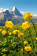 Alpine Globeflower (Trollius Europaeus ) meadows at 6000ft ( 2500Mts) with the Eiger behind. First, Grindelwald, Bernese alps .<br /> <br /> Visit our SWITZERLAND  & ALPS PHOTO COLLECTIONS for more  photos  to browse of  download or buy as prints https://funkystock.photoshelter.com/gallery-collection/Pictures-Images-of-Switzerland-Photos-of-Swiss-Alps-Landmark-Sites/C0000DPgRJMSrQ3U