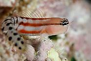 Ecsenius fijiensis (Fiji Blenny)