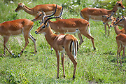 Male and Female Impalas in the Serengeti, Tanzania, Africa