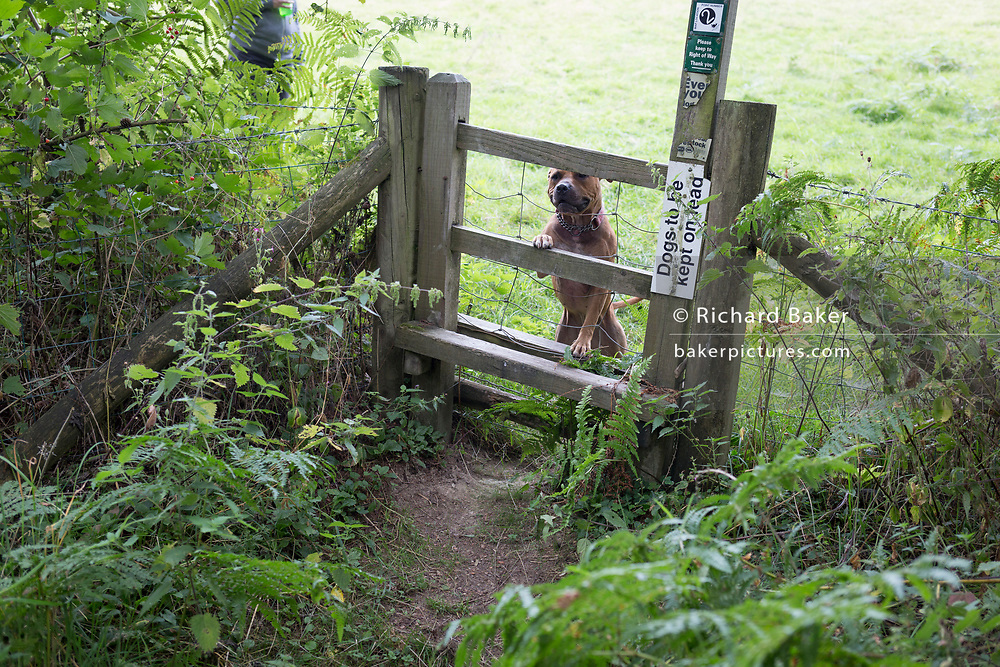 A Staffordshire Bull Terrier on a long lead peers through the wire of a stile in the English countryside, on 10th September 2018, near Lingen, Herefordshire, England UK. Before entering the field where sheep are grazing, all dogs are required to be on leads to avoid sheep worrying which can result in prosecution by irresponsible dog owners.