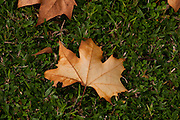 Camanducaia_MG, Brasil...Folha de platano (Maple Leaf) sobre uma grama em Camanducaia...The platano leaf  (Maple Leaf) on the grass...Foto: LEO DRUMOND / NITRO.....