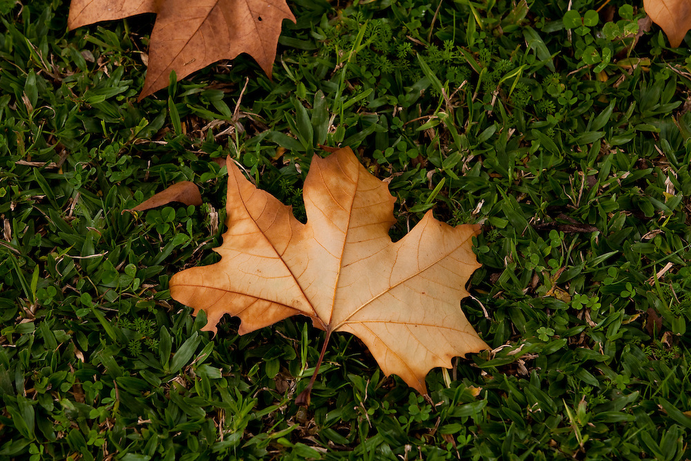 Camanducaia_MG, Brasil...Folha de platano (Maple Leaf) sobre uma grama em Camanducaia...The platano leaf  (Maple Leaf) on the grass...Foto: LEO DRUMOND / NITRO.....