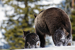 The bear went over the mountain.   A grizzly sow and her two cubs exit over a hill in the Greater Yellowstone.