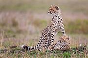 A female cheetah ( Acinonyx jubatus ) and her cubs resting in the savannah grass, Masai Mara, Kenya