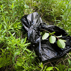 Japanese Knotweed being bagged up in an invasive species eradication effort on the TNC's Silverweed Seep preserve in Plainfield, New Hampshire.