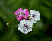 Dianthus (Telstar Picotee?). Image taken with a Fuji X-H1 camera and 80 mm f/2.8 macro lens