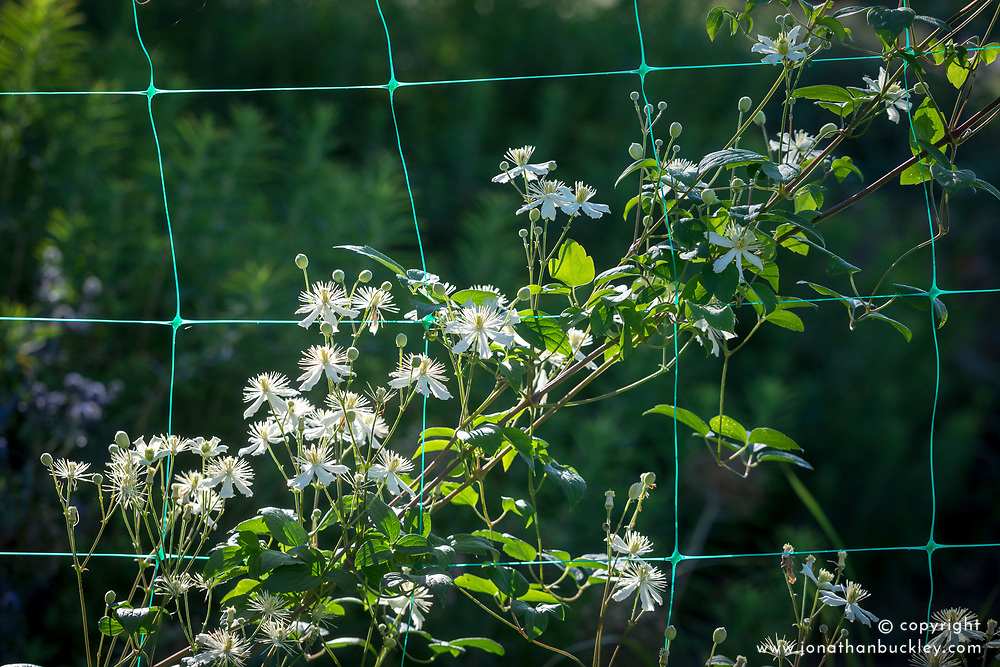Clematis 'Paul Farges' AGM syn. Clematis fargesioides 'Summer Snow' , C. potaninii 'Summer Snow' growing up green plastic netting.