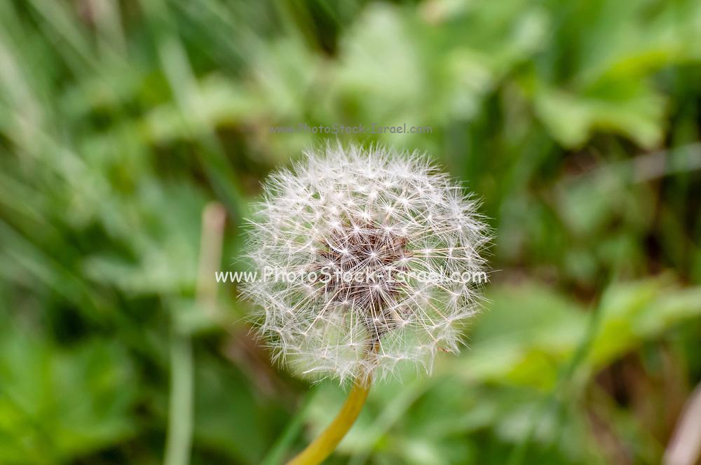 Perfect round dandelion. Photographed on Elfer Mountain, Stubaital, Tyrol, Austria