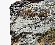 Young Himalayan tahr follow their mother up a cliff. The Himalayan tahr is an even-toed ungulate, a near-true goat, seen here in the Khumbu district of Nepal. Sagarmatha National Park was created in 1976 and honored as a UNESCO World Heritage Site in 1979.