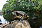 Suwannee River Cooter (Pseudemys concinna suwanniensis) sunning themselves on a log in Jonathan Dickinson State Park, Jupiter, FL.