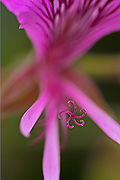 Selective Focus study of a Pink Spider Geranium.