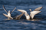 Stock photo of Bonaparte's gull captured in Colorado.  These gulls resemble terns in terms of behavior. Instead of feeding in landfills like other gulls, they will instead dine on the surface of lakes.