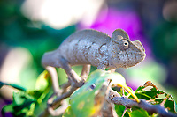 Chameleon up close portrait. Wildlife and nature fine art photography. Nature wall art prints for sale.