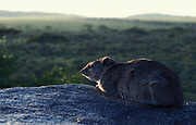 Rock Hyrax, Procavia capensis, Africa, basking on rock in early morning sun, surveying landscape, looking