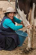 Indian milking cow<br /> Maria Chimbo<br /> Calpi animal market<br /> Parish of Riobamba, Chimborazo Province<br /> Andes<br /> ECUADOR, South America