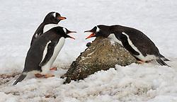 Gentoo penguin squabble, Antarctica