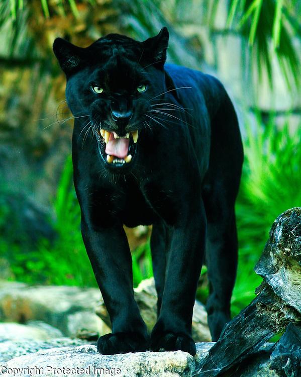 A captive female black jaguar.