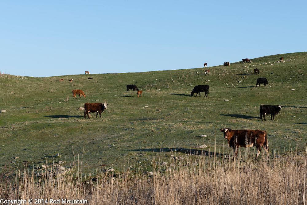 Grazing cows along a hillside in the Okanagan.