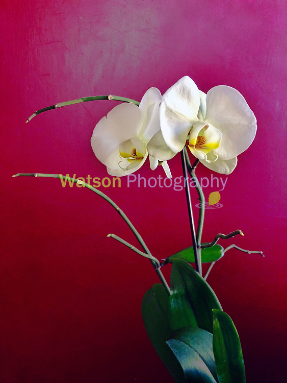 Orchid Exotica