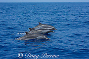 """a """"chorus line"""" of pantropical spotted dolphins, Stenella attenuata, porpoises out of the water, South Kona, Hawaii ( the Big Island ), USA Central Pacific Ocean"""