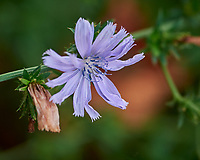 Chicory Flower. Image taken with a Nikon D810a camera and 105 mm f/2.8 VR macro lens.