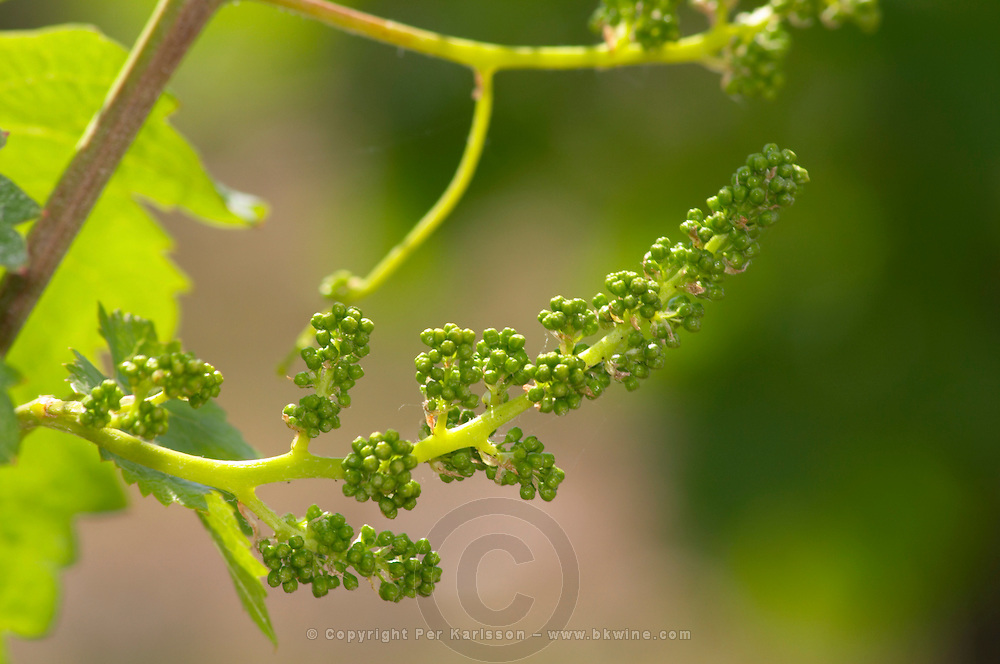 A young bunch of grapes with flower buds, Cabernet Sauvignon Chateau Paloumey Haut-Medoc Ludon Medoc Bordeaux Gironde Aquitaine France