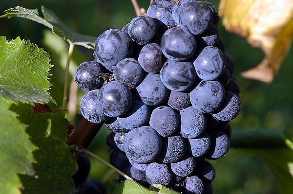 Nederland, Groesbeek, 26-9-2003..Druivenoogst biologische wijnhoeve de Colonjes..Zo'n 30 vrijwilligers helpen bij de pluk...De oogst is door de uitzonderlijk warme zomer drie maal die van vorig jaar, zo'n 2000 kilo. Wijnproductie, druif, druiventros, wijngaard, klimaat, seizoensarbeid, druiventeelt..Foto: Flip Franssen/Hollandse Hoogte
