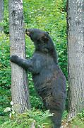Black Bear, Ursus americanus, Canada, standing up against tree licking bark