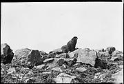 "9707-K209. written on original negative: ""Polyscicatch St. Pauls Id Alaska CLA"", ""half bull, Scicatch at Gorbatch.""  St. Pauls Island. Pribilof Group. July 11, 1919"