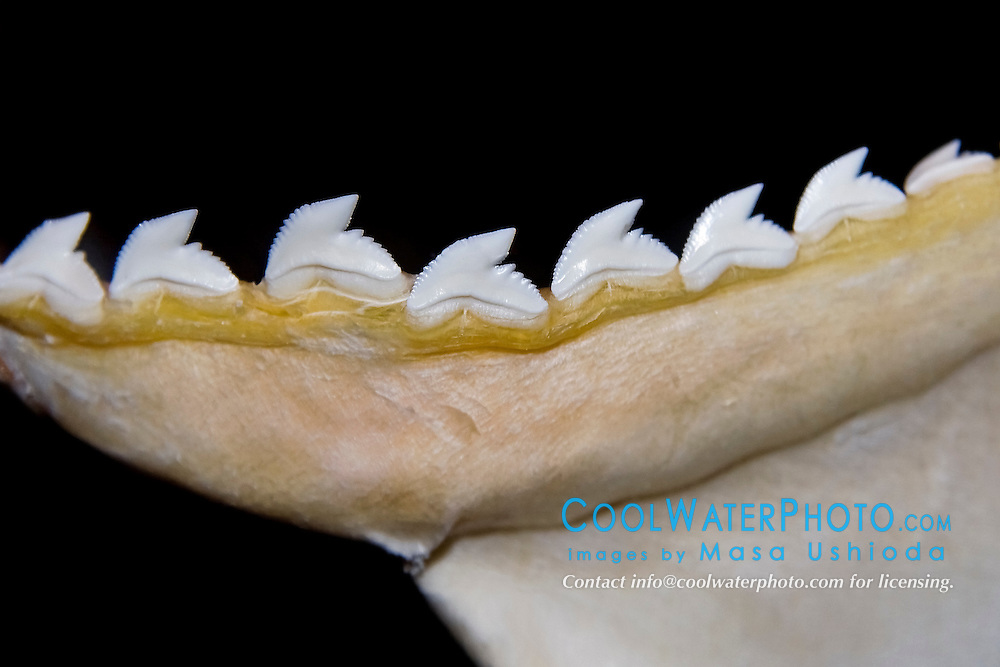 teeth of tiger shark, Galeocerdo cuvier - hooked cusps hold prey and serrated edges cut out bites, differences in shark tooth size and shape reflect what and how they prey on, Hawaii