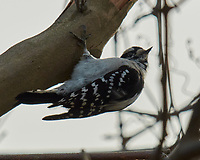 Downy Woodpecker (Dryobates pubescens). Image taken with a Nikon N1V2 camera, FT1 adapter, and 70-200 mm f/2.8 VR lens.