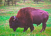 Bull Bison (Bison bison) during a rain storm.  The redish color comes from rolling in a muddy red  wallow, then he was drenched by spring rain.   Custer State Park, South Dakota.