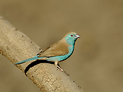 Blue waxbill, Uraeginthus angolensis, Limpopo, South Africa, perched, unmistakable species of the mixed woodland