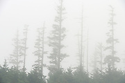 Trees in fog, Naikoon Provincial Park, British Columbia, Canada