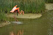 Greater Flamingo (Phoenicopterus ruber)<br /> Punta Moreno<br /> Isabela Island<br /> GALAPAGOS ISLANDS,<br /> Ecuador, South America